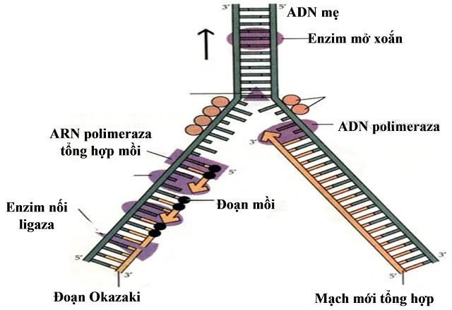 Hình 1 : Quá trình nhân đôi ở 1 chạc chữ Y