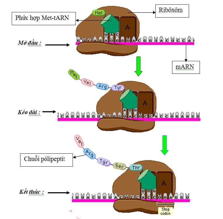 Hình 1: Sơ đồ mô tả quá trình  tổng hợp chuỗi pôlipeptit