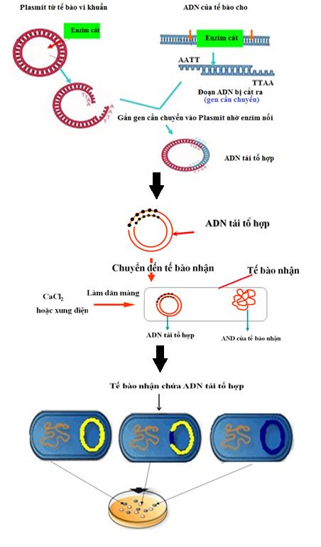 Hình 2. Quy trình tạo ADN tái tổ hợp