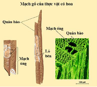 Kết quả hình ảnh cho con đường của dòng mạch gỗ trong cây