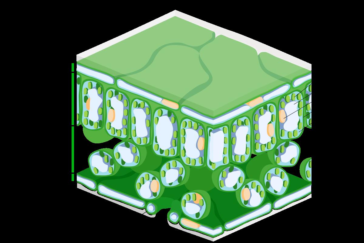 Hình 1. Cấu trúc của lá