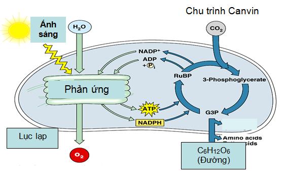 Hình 1: Quá trình quang hợp ở thực vật