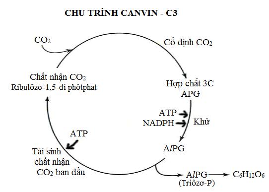 Hình 2 : Chu trình Canvin