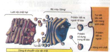 Quá trình vận chuyển các chất bằng thể golgi