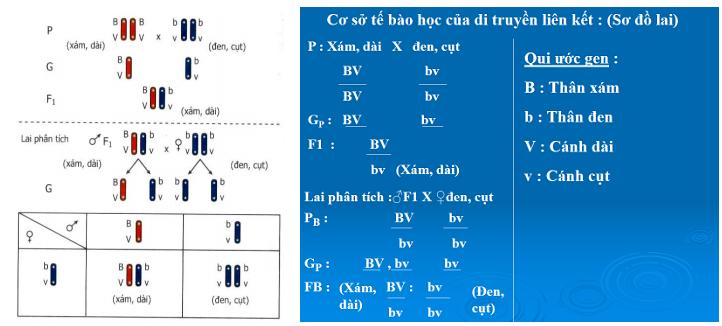 thí nghiệm của moocgan di truyền liên kết