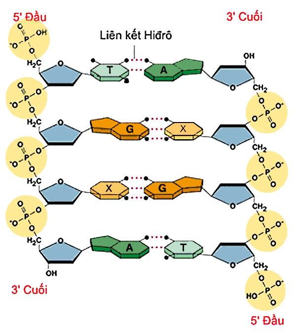 Cấu tạo ADN