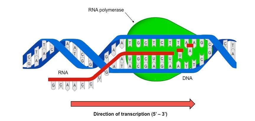 Diễn biến tổng hợp ARN