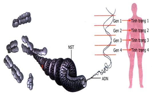 mối quan hệ giữa gen và tính trạng