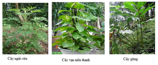 thực vật ưa bóng