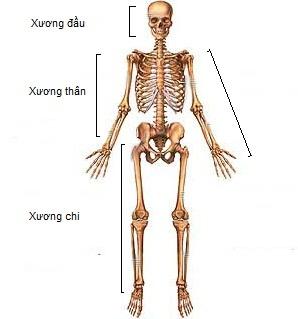Các phần của bộ xương người