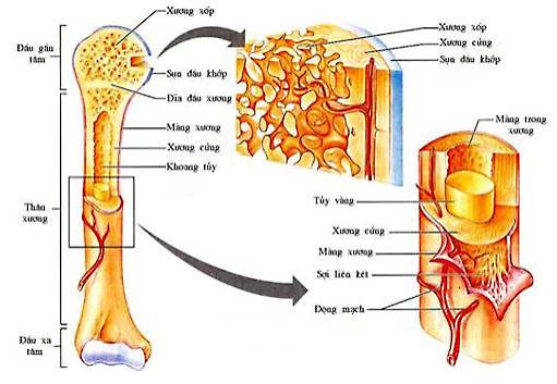 cấu tạo của xương dài