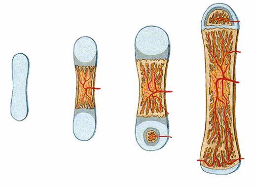 Lý thuyết Cấu tạo và tính chất của xương sinh 8