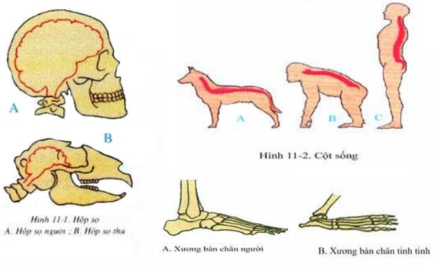 Tiến hóa của hệ xương