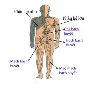 sơ đồ cấu tạo hệ bạch huyết