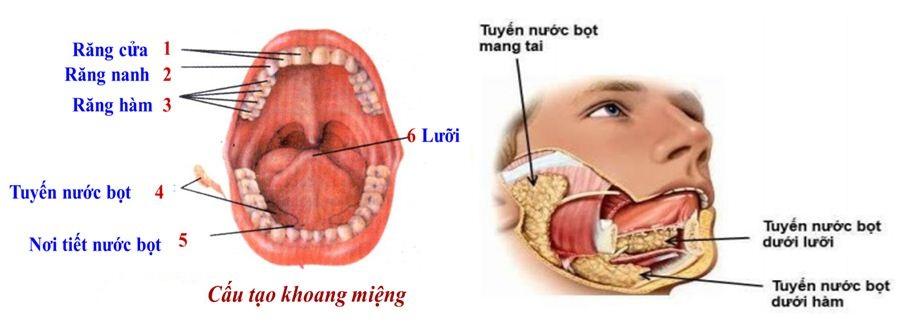 cấu tạo khoang miệng