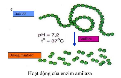 hoạt động của enzim amilaza