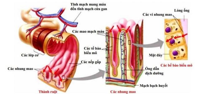 cấu tạo thành ruột non