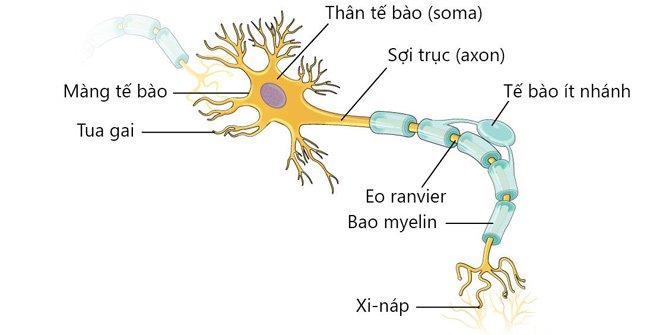 tế bào thần kinh