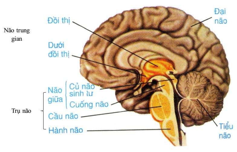 các bộ phận của não