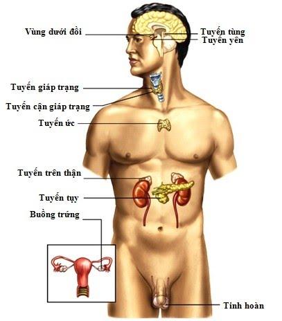 các tuyến nội tiết trên cơ thể người