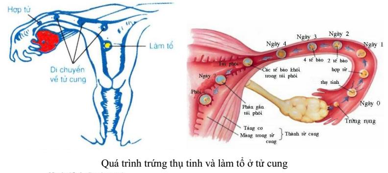 quá trình thụ tinh và làm tổ ở tử cung