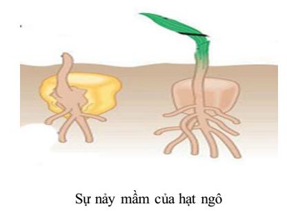 sự nảy mầm của hạt ngô