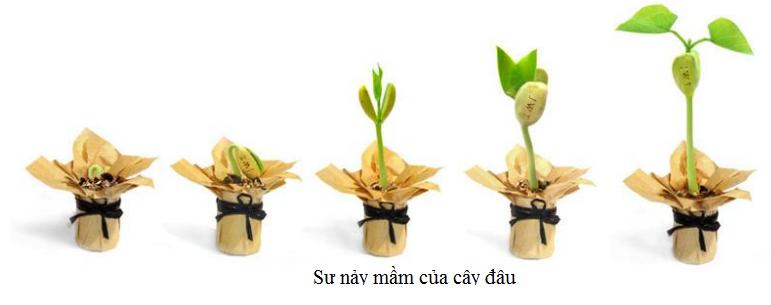 sự nảy mầm của hạt đậu