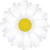 Kể chuyện: Bông hoa cúc trắng