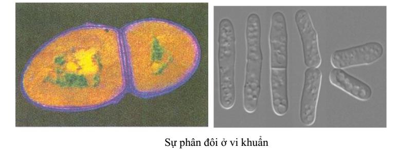 sự phân đôi ở vi khuẩn