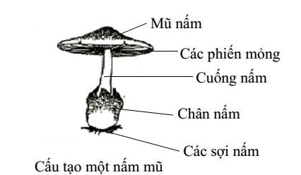 cấu tạo nấm mũ