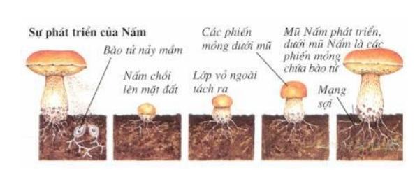 sự phát triển của nấm